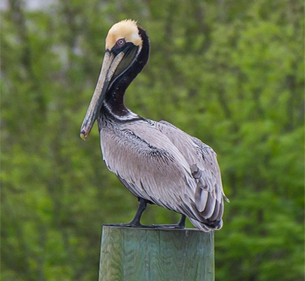 environment pelican